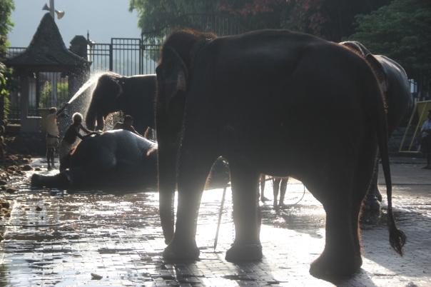 Bathing elephants before the Esala Perahera Festival, Kandy, Sri Lanka