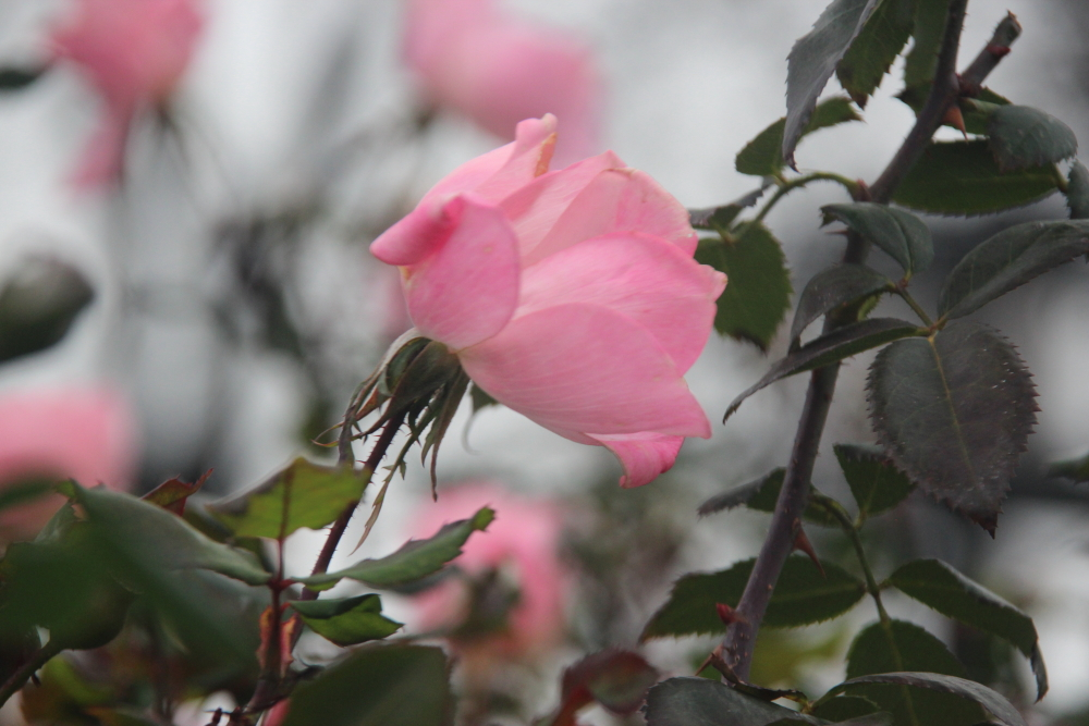 Winter roses, NYC